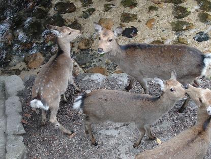 御綾橋の下の鹿2