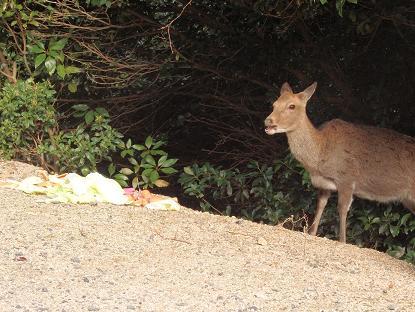 入浜までの山中の鹿1