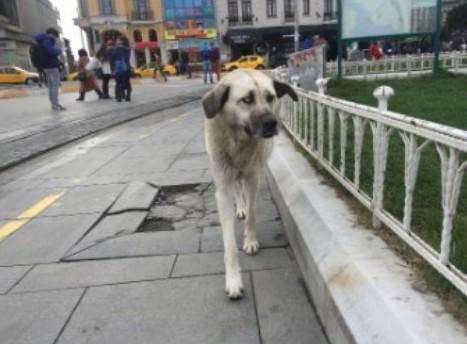 イスタンブールの街を歩く野良犬