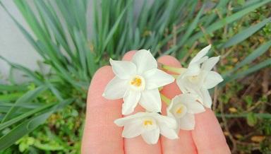 12月に咲いていた水仙
