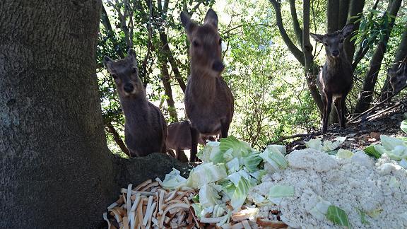 包ヶ浦野営場の斜面にいた鹿2