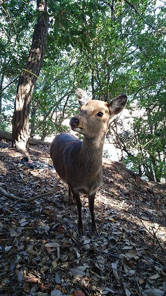包ヶ浦野営場の斜面にいた鹿1