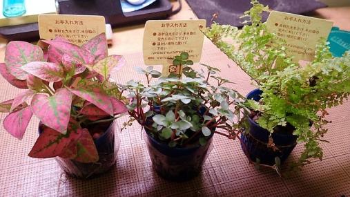 観葉植物トレイ2016-01-13 (4)