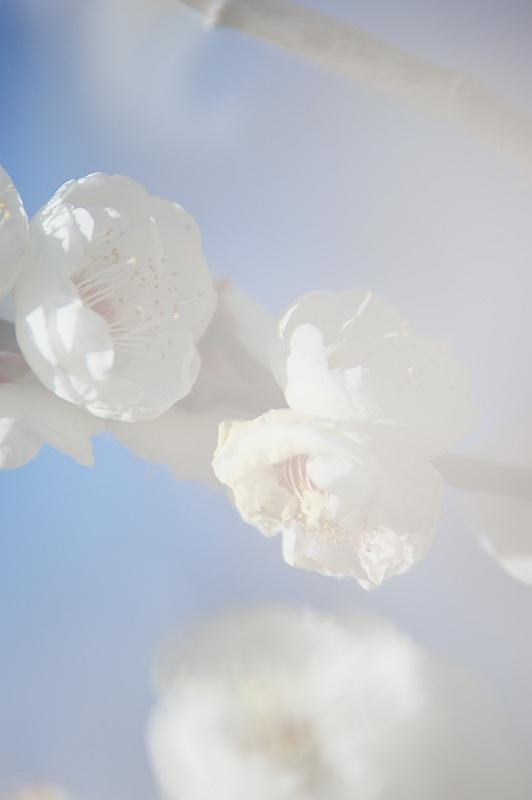 梅の咲く頃 三