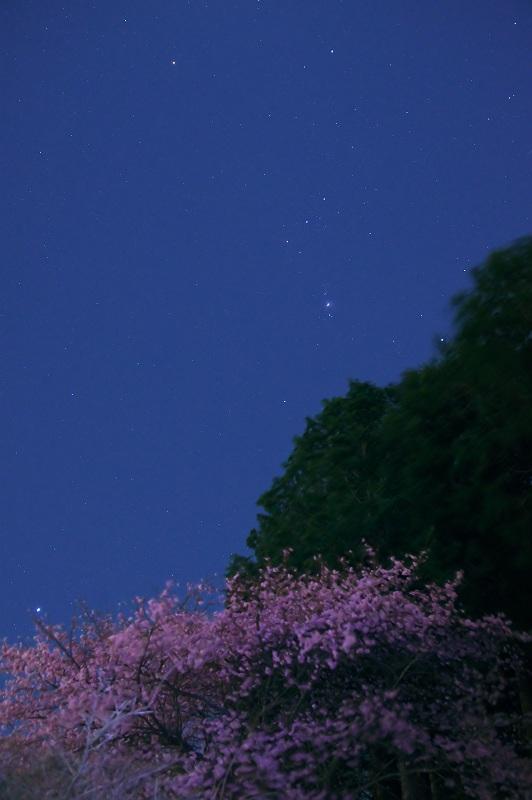月夜の河津桜 2
