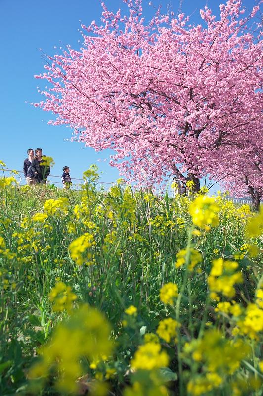 河津桜が見頃 2