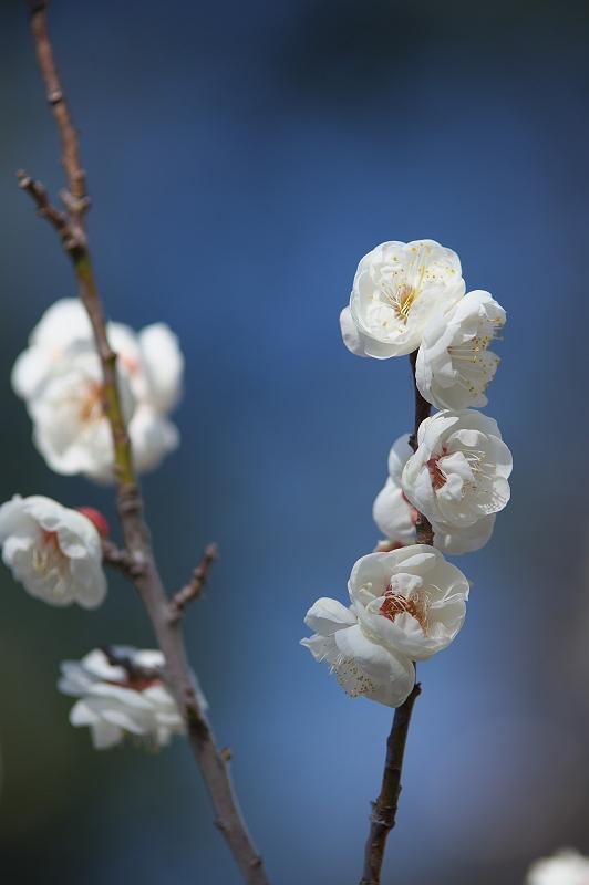 梅が咲く季節 2
