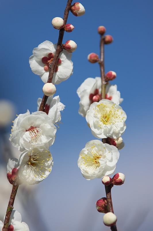 梅が咲く季節 3