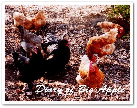 嬉しい鶏たち