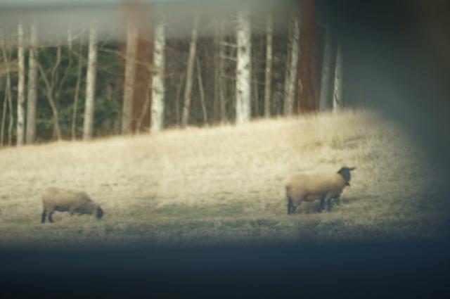 高ボッチに至る丘に居た、羊さん