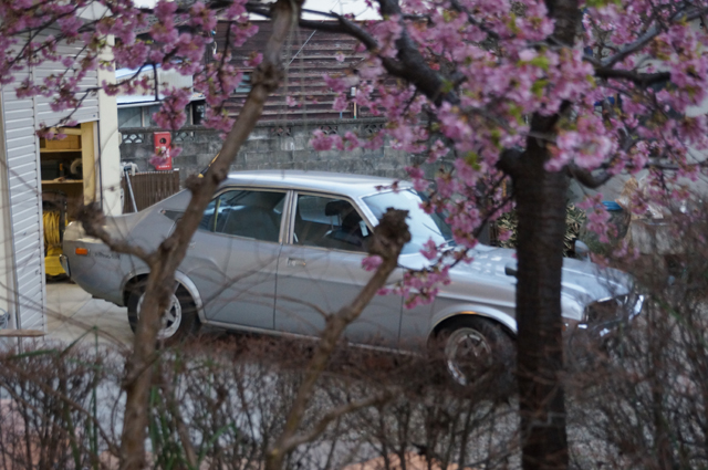 河津桜の向こうに見えるルーチェ