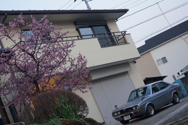ルーチェと新築の家と桜
