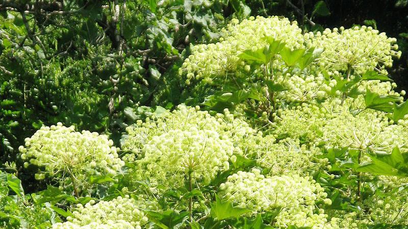 ハリギリの花