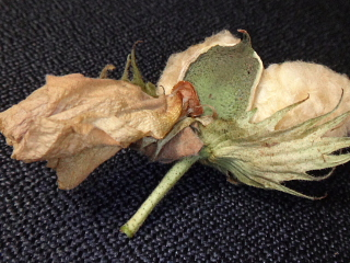 花付きの綿