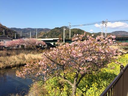 早朝の河津桜