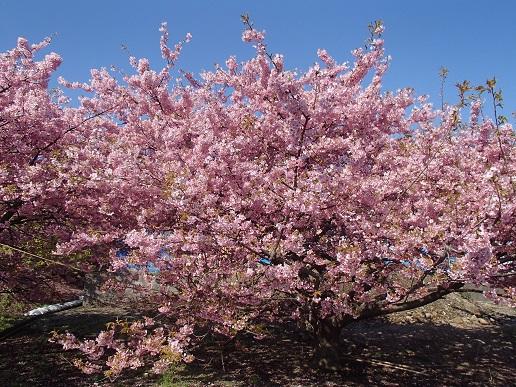 160227河津桜 (1)