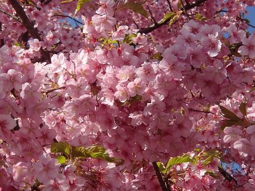 160227河津桜 (19)