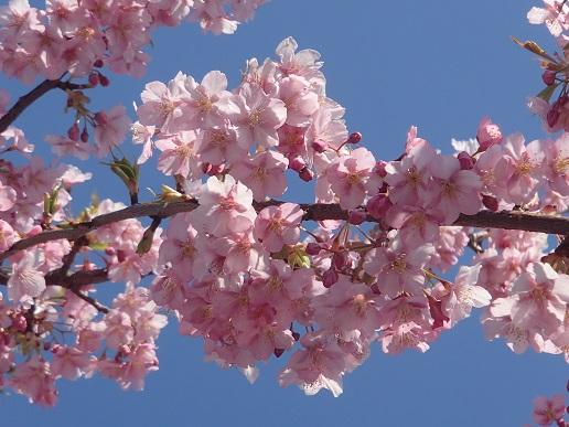160227河津桜 (30)