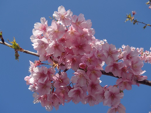 160227河津桜 (48)