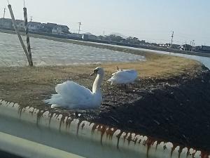 白鳥の湖3