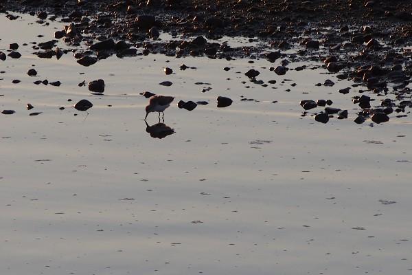 野鳥 川辺の鳥