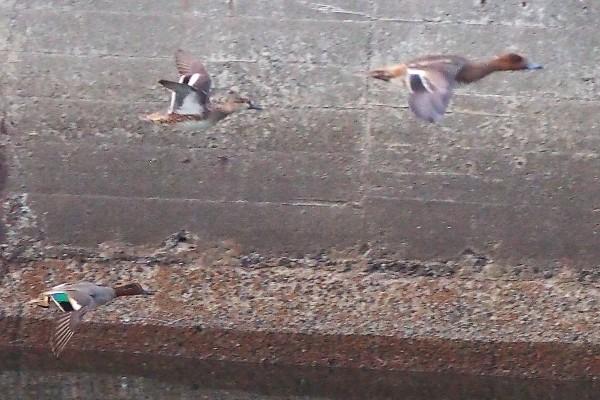 飛び立つカモ