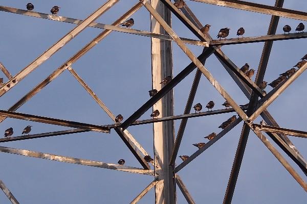 鉄塔のムクドリ