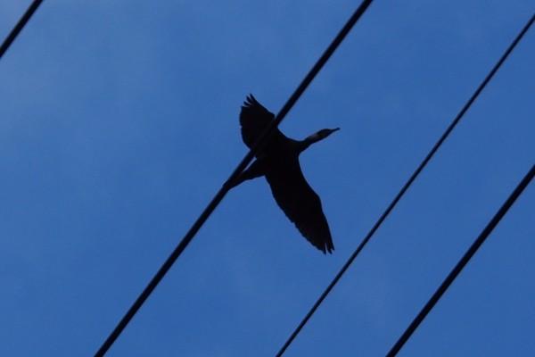 野鳥 飛行する水鳥