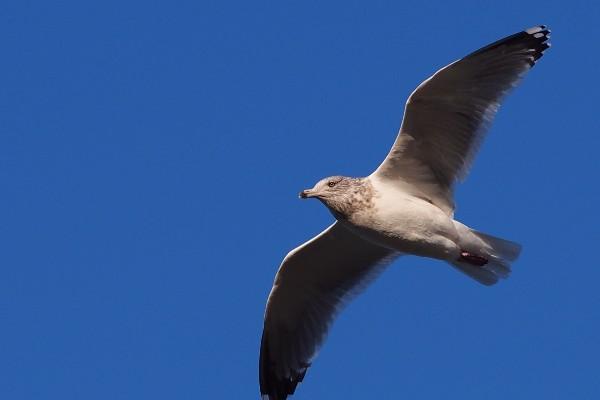 セグロカモメの飛行