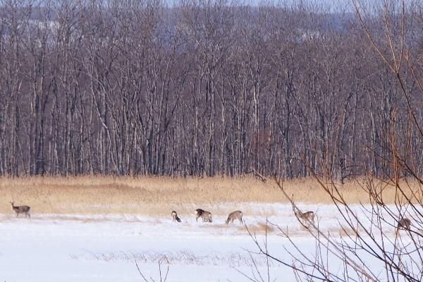 釧路湿原 塘路湖周辺 鹿