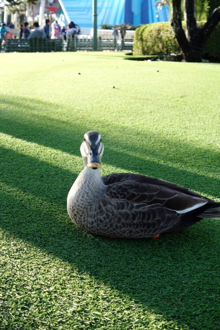 その庭園にいた鴨