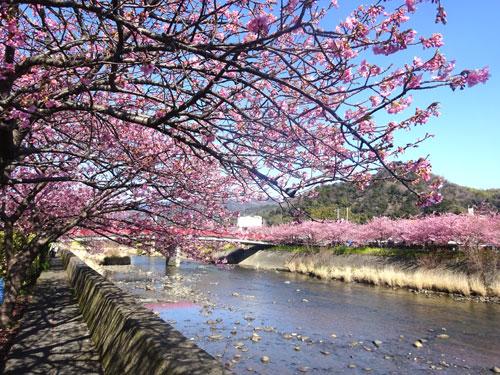 H28河津桜