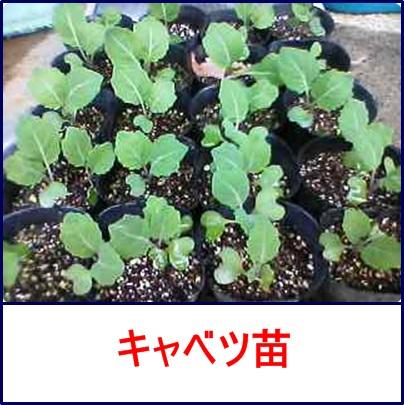 1月14日キャベツ苗の成長