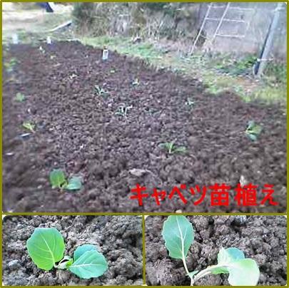 2月18日キャベツ苗植え