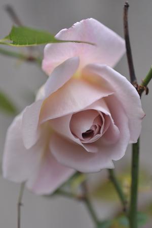 rose20151214-1.jpg