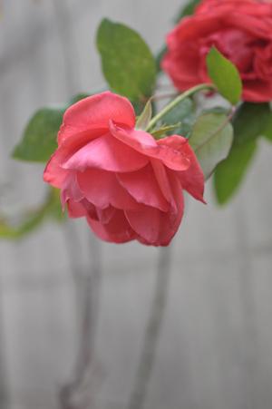 rose20151214-2.jpg