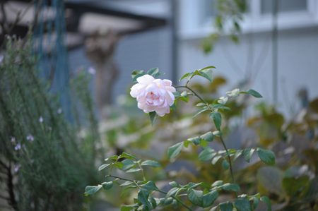 rose20151214-6.jpg
