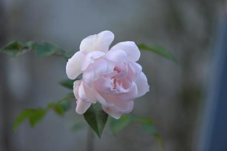 rose20151214-6a.jpg