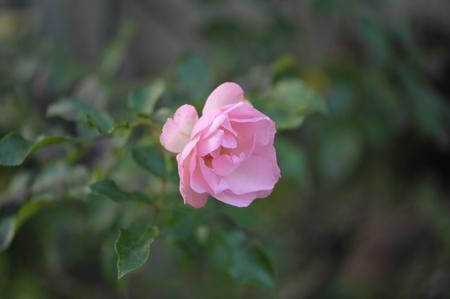 rose20151214-6b.jpg