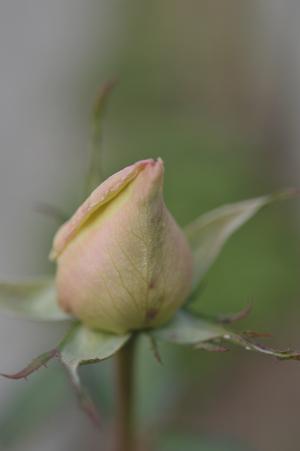rose20151225-1.jpg