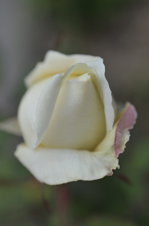 rose2016105-1.jpg