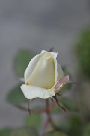 rose2016105-2.jpg
