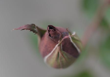 rose2016112-1.jpg