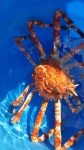 タカアシ蟹