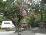 ひめゆりの緋寒桜