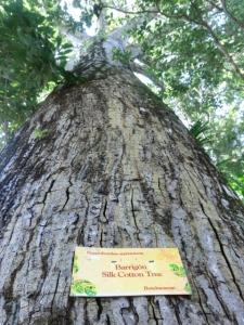 シルクコットンツリー