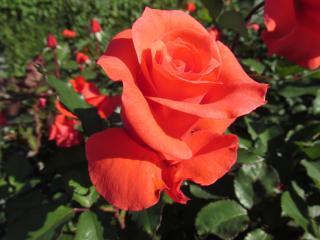 須磨離宮公園 薔薇1