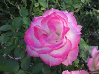 須磨離宮公園 薔薇2