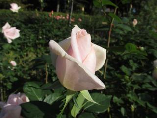 須磨離宮公園 薔薇3