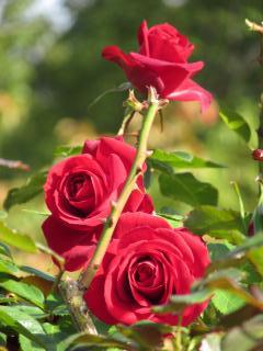 須磨離宮公園 薔薇4